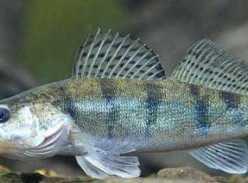 Берш (рыба): где водится, описание, фото