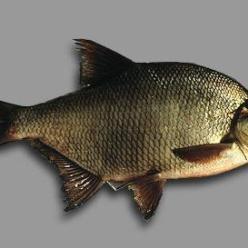 Рыбалка на леща в подробностях