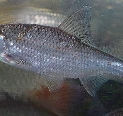 Елец (рыба) в среде обитания. Уникальная рыба наших водоёмов