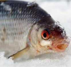 Ловля окуня в глухозимье. Зимняя рыбалка на окуня