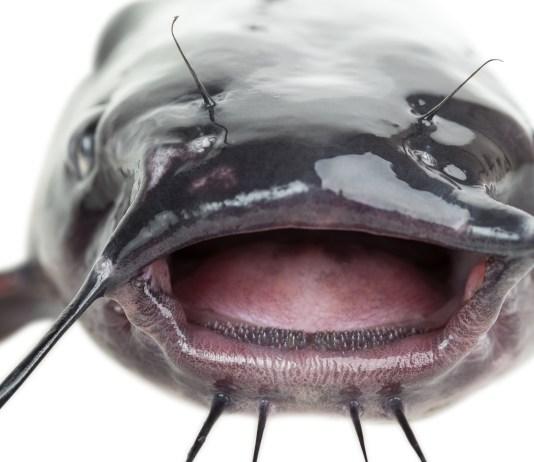 Ice Fishing Catfish
