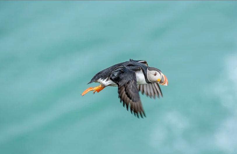 被譽為冰島國鳥-可愛海鸚鵡 - 冰島易遊