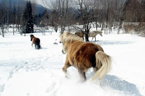 Vermont Icelandic Horse Farm | Vermont Horse Farm & Vacation Rental in Fayston, Vermont