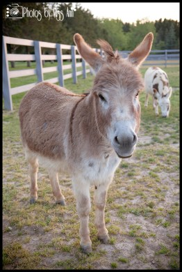donkeys-at-eyry-of-the-eagle-farm-wedding