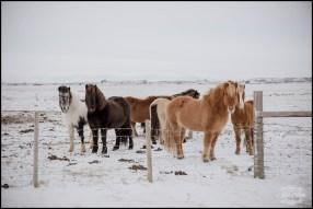 Icelandic Horses Wedding Day Iceland