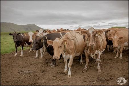 Iceland Wedding Livestock