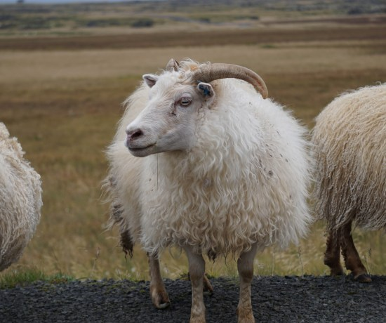 In Iceland, sheep outnumber humans! Whatch out for sheep when driving in Iceland // 8 Rules for an Epic Iceland Road Trip