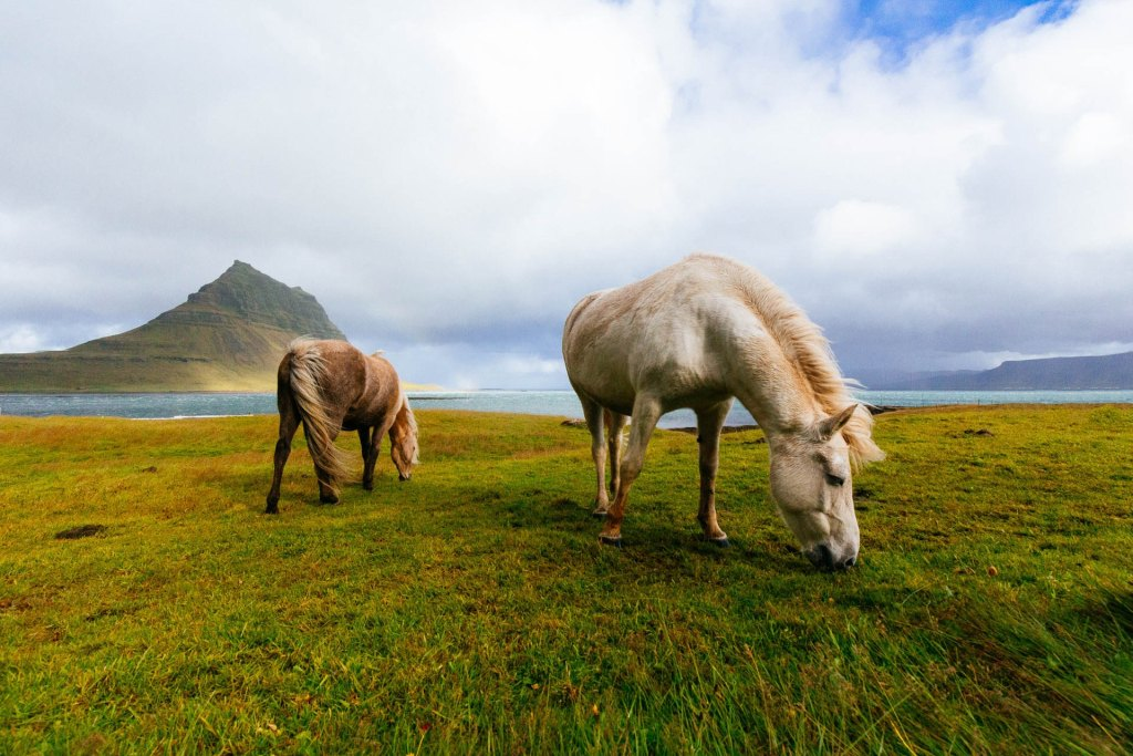 Everything You Need to Know About Icelandic Horses