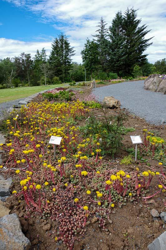 reykjavik botanical gardens yellow flowers