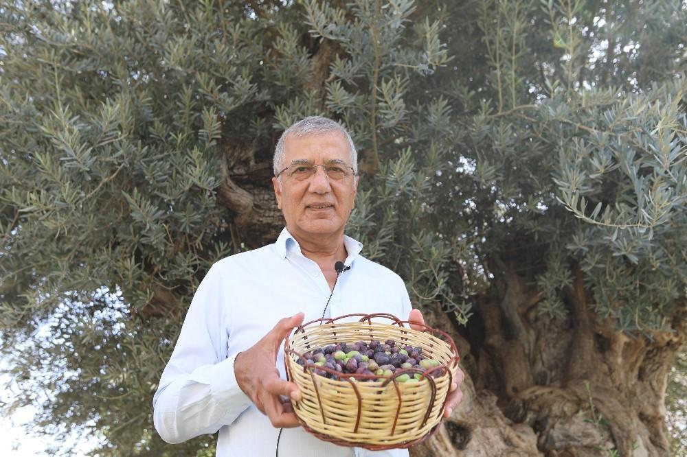 Bin 203 yaşındaki anıt ağacın zeytinleri eğitime katkı sunacak