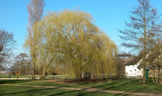 bungay-staithe-willow