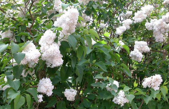 loddon-white-lilac