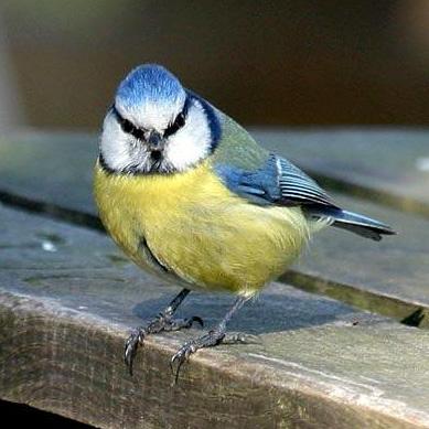 Blue Tit Norfolk Wildlife Iceni Post News From The North Folk Amp South Folk