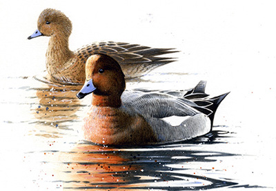 Paul-Dysons-Painting-of-Wigeons-2013