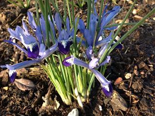 raveningham-iris2-560x419