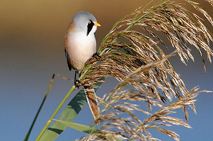 Bearded-tit-Hardley-Marshes-Nick-Appleton-7-November-2012-560x371