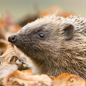 building-a-hedgehog-home-in-your-garden