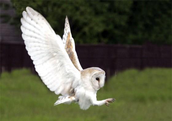 barn-owl-flying