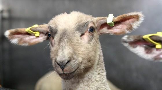 wroxham-barns-lamb