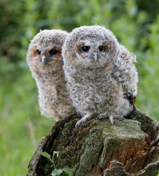 suffolk-owl-sanctuary-babies