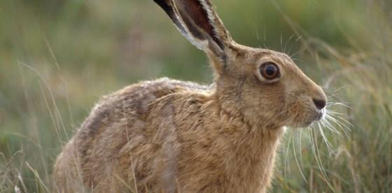 hare-on-havergate-island