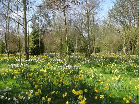 Waveney Daffodil Walk