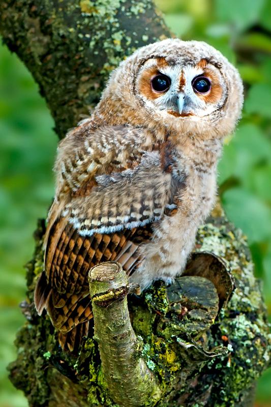 tarney-Owl