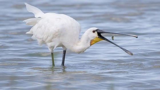 suffolk-havergate-island-wildlife-spoonbill