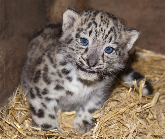snow leopard cubs at Thrigby Hall