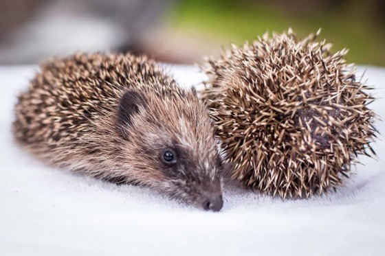 JOINING-PAWS-hedgehog