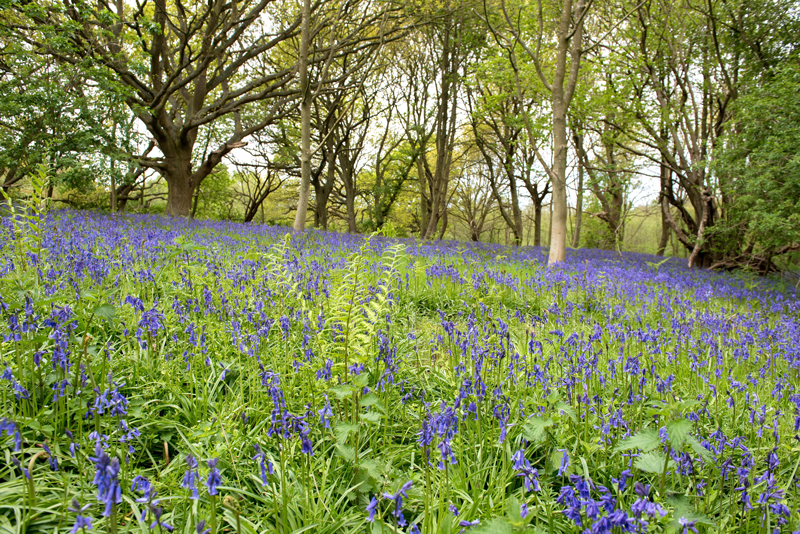 bluebell woodland at Sotshole Broad nature reserve
