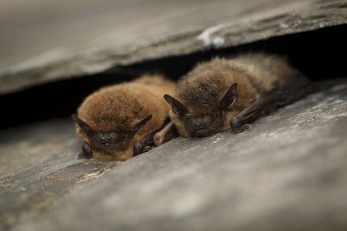 Bats in Suffolk