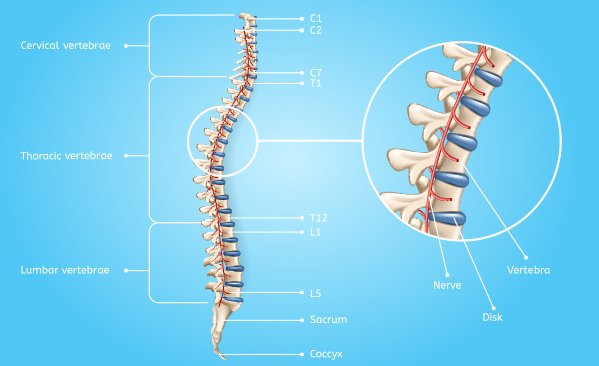 Spinal Anatomy