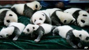 Panda cubs at the Chengdu Giant Panda Breeding and Research Center in Chengdu, China (file image from 2006)