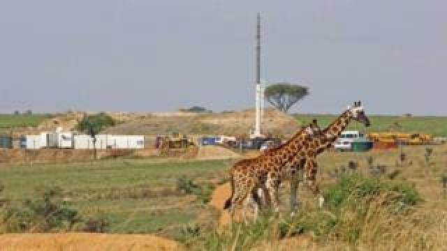 Giraffes and oil rigs in Uganda