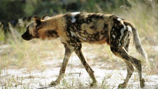 Cachorro selvagem africano