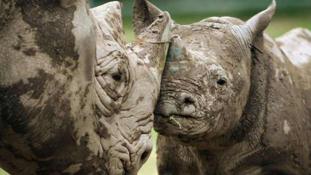 Two muddy rhinos