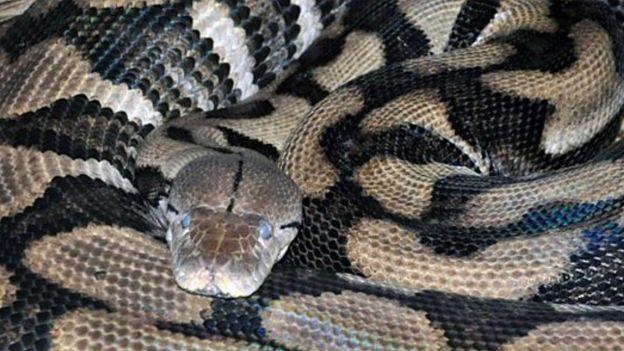 Thelma, la serpiente pitón