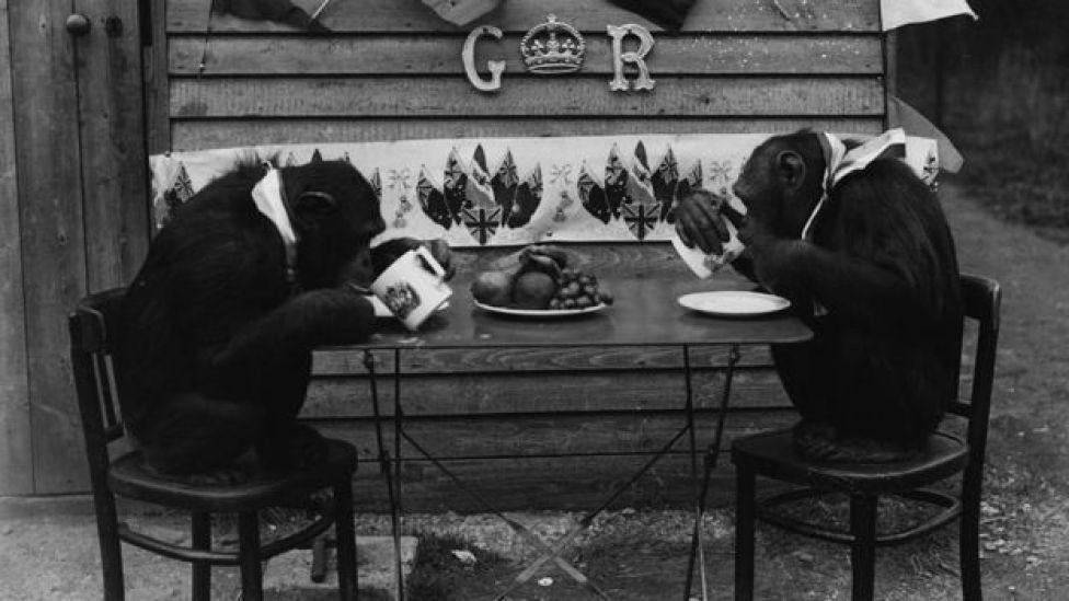 Two chimpanzees at a