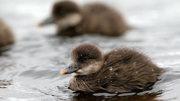 Common scoter ducklings