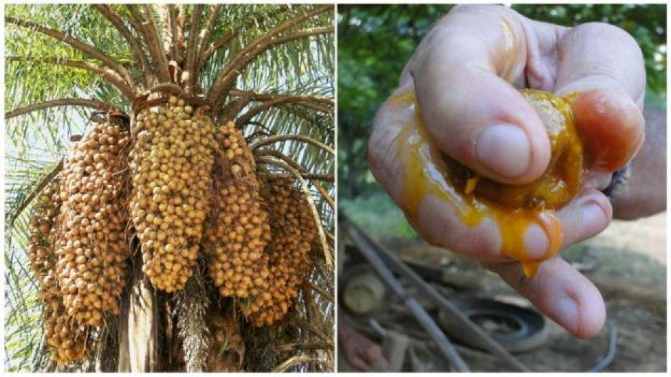 Frutos da macaúba