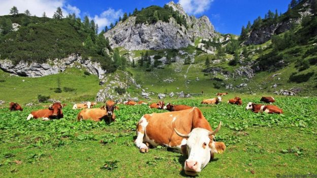 Cows graze in mountain pastures in the Julian Alps