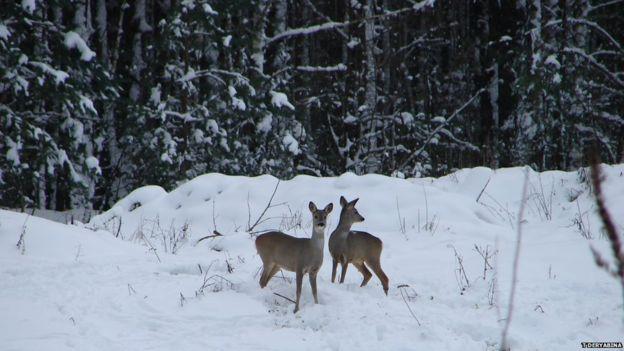 Roe deer near Chernobyl nuclear power plant (c) Tatyana Deryabina