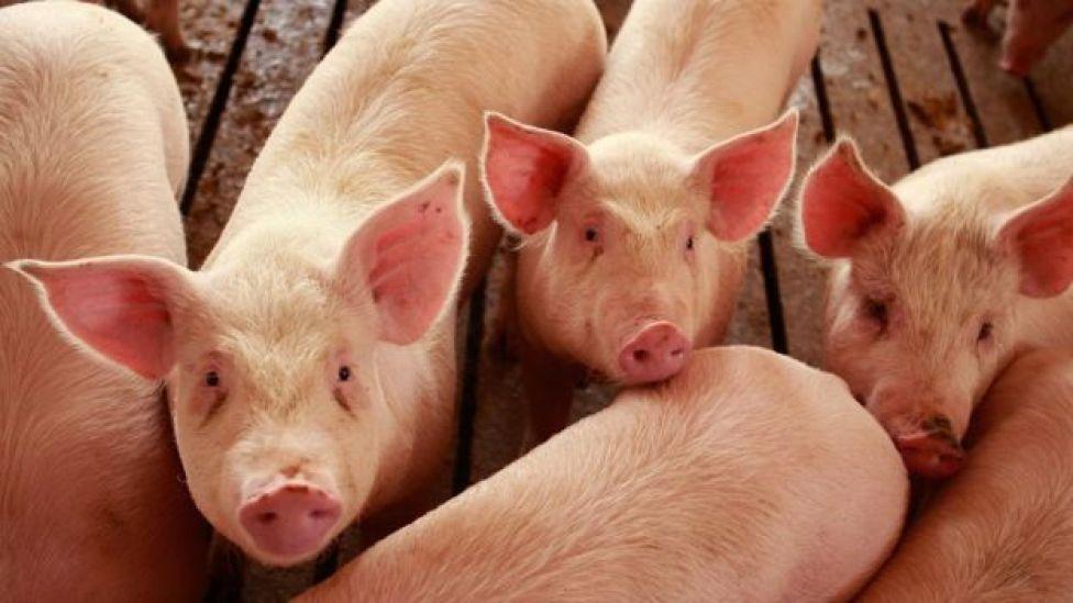 Hogs are raised on the farm of Gordon and Jeanine Lockie April 28, 2009 in Elma, Iowa