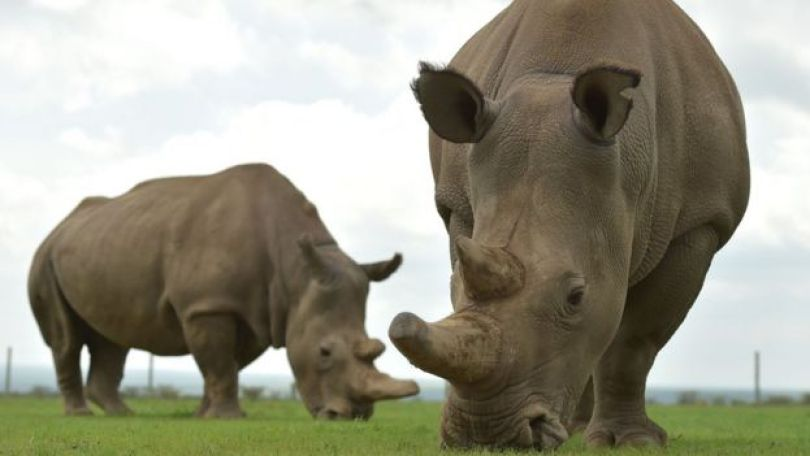 Rinocerontes em área de conservação em Nairóbi