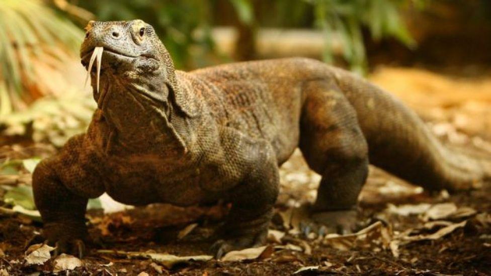Komodo Ejderı