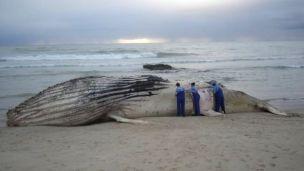 Técnicos examinam baleia encalhada
