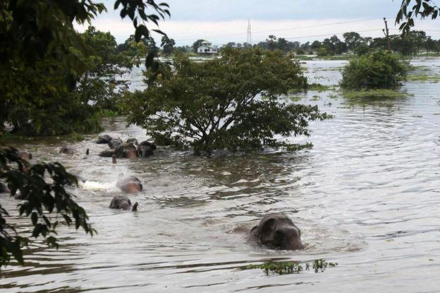 Elefantes cruzan un río