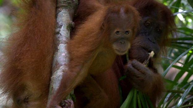 Sumatran orangutan (c) Perry van Duijnhoven