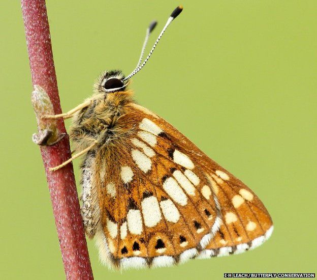 Duke of Burgundy butterfly (c) Butterfly Conservation
